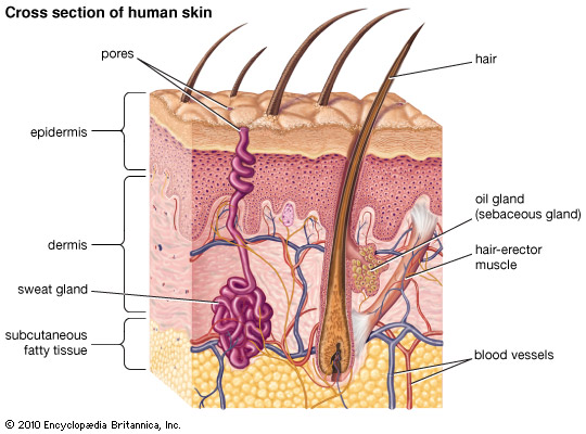 epidermis and dermis relationship